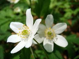 white flower free photo flower flowers white flowers white flower max pixel