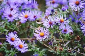 summer flowers asters hollyhocks marigolds pansies and