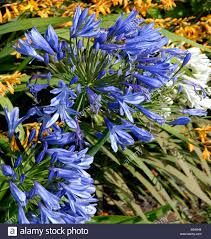 agapanthus garden flowers u k stock photo royalty free image