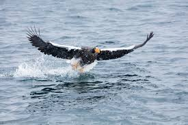 stellers sea eagle wallpapers steller u0027s sea eagle archives u2022 martin bailey photography