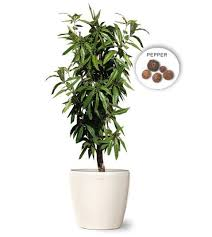 small allspice jamaican pepper tree wholesale fruit trees web buy