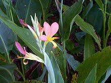 Cana Lilly Canna Plant Wikipedia