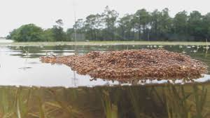 a bellyful of fire ants appears to be lethal at least for