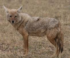 african golden wolf wikipedia