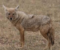 african golden wolf wikipedia
