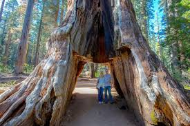 Chandelier Tree California Sequoia Tunnel Tree In California Is Toppled By