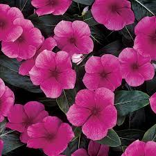 vinca flowers pacifica punch hybrid vinca flower seeds