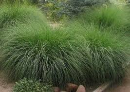 deer grass deer grass is dependable and fast growing this
