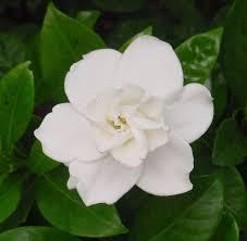 white flower beautiful white flower stock by enchantedgal stock on deviantart