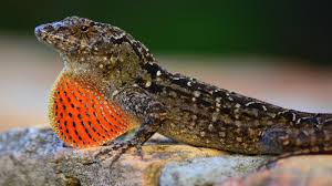 what do brown lizards eat reference com