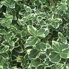All Year Flowering Shrubs - shrubs and perennials