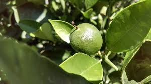 Prune Fruit Trees Arizona Gardeners Facts About Pruning Your Citrus Trees Home