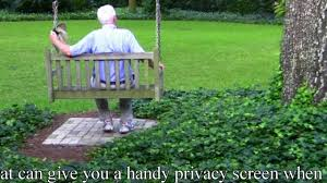how to plant ivy vines correctly walls fence u003dprivacy screen