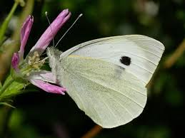 large white butterfly pieris brassicae wildlife insight