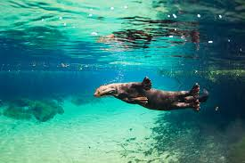 7 surprising facts about the giant river otter