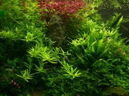 Aquascaping Plants Suitable Plants Aqua Rebell