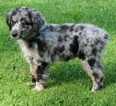 australian shepherd vs english shepherd australian retriever dog breed information