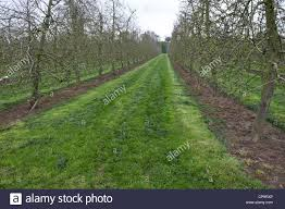cider apple trees growing in commercial orchard near putley near