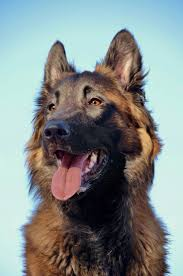 belgian sheepdog breeds 418 best belgian shepherd tervueren images on pinterest belgian