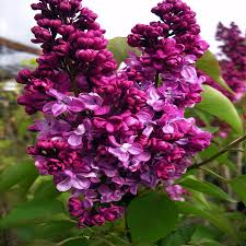 plant gifts scented lilac bush by giftaplant notonthehighstreet com