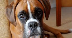 sickening pictures of poorly boxer show the danger of dogs eating