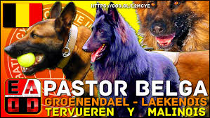 belgian sheepdog south africa belgian shepherd and his 4 variants groenendael tervueren