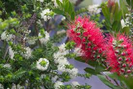 native western australian plants plants for clay soils native plant and revegetation specialists