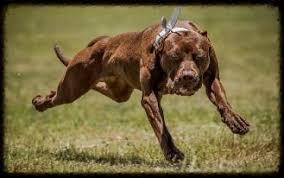 l american pitbull terrier a p b t chocolate red nose working american pit bull terrier females