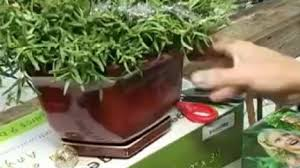 your garden mini trees lavender rosemary story ktbc