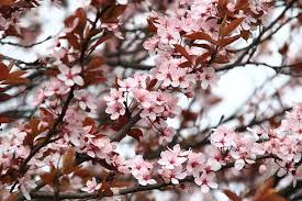 Pink Spring Flowering Shrubs - spring flowers free pictures on pixabay