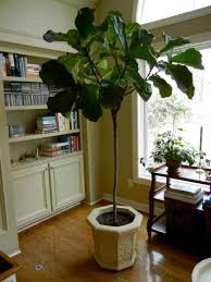 Fiddle Leaf Fig Tree Care by Fiddle Leaf Fig Tree Care Fiddly Plant On Modern Home Decoration 2