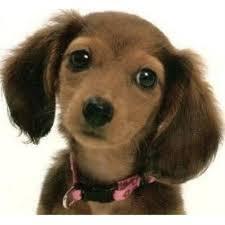 afghan hound rescue north carolina lancaster u0027s kennel dachshund breeder in rockwell north carolina