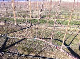 fruit trellis systems day 4 week 2 term 3 u2013 perennial times
