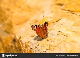peacock butterfly on a wall stock photo jochenschneider 192253614