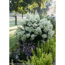 hydrangea garden plants u0026 flowers garden center the home depot