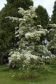 white flowering dogwood eddie s white flowering dogwood cornus eddie s white