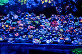 led lighting for zoanthids how to frag zoanthids basics coral frags news zoanthids reef