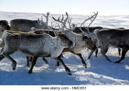 reindeer rangifer tarandus herd migrating in yar sale