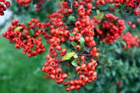 free photo ornamental shrub light bush fruits max pixel