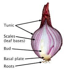 ornamental bulbous plant