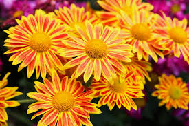 Picture Of Mums The Flowers - fall flower child u2013 add bloom power to your garden espoma