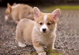 affenpinscher puppies for sale in texas pembroke welsh corgi puppies for sale akc puppyfinder