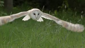 Scientific Name Of Barn Owl Springwatch Viewers In Awe Of A Barn Owl One Of The Best Birds In