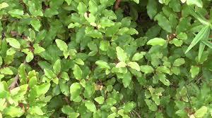 native plants of nz new zealand native plant mapou youtube