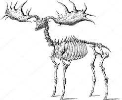 vintage image moose skeleton u2014 stock photo unorobus gmail com