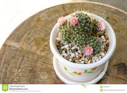 cute small cactus with flower in pot stock photo image 62526226