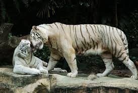 tigers worldwide at risk of extinction in bangladesh only 100