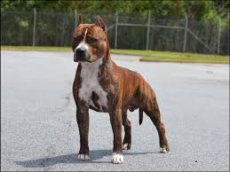 american pitbull terrier akc lbk amstaffs american staffordshire terrier puppies for sale