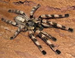 poecilotheria formosa salem ornamental wanted list the big