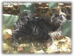 affenpinscher havanese mix havanese dog breed pictures 5